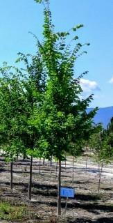 Qty of (5) American Elm Trees