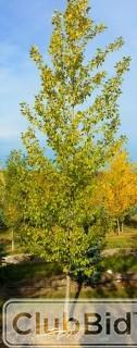 Qty of (5) Bylands Green Poplar Trees