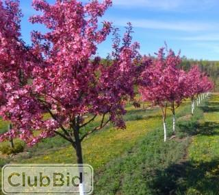 Qty of (5) Pink Spire Flowering Crab Trees