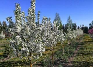 Qty of (5) Spring Snow Crab Trees