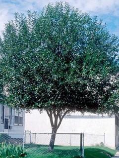 Qty of (5) Laurel Leaf Willow Trees