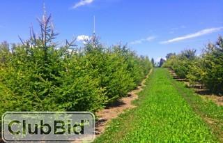 Qty of (5) Obovata Spruce Trees
