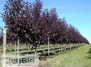 Qty of (5) Schubert Chokecherry Trees