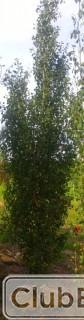 Qty of (5) Swedish Aspen Trees