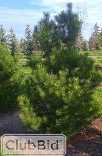 Qty of (5) Mountain Pine Trees