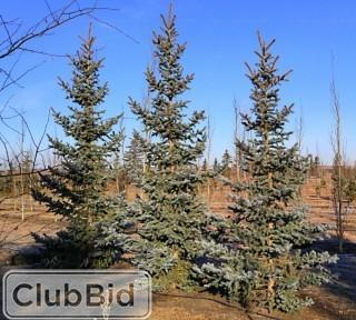 Qty of (5) Bakeri Spruce Trees