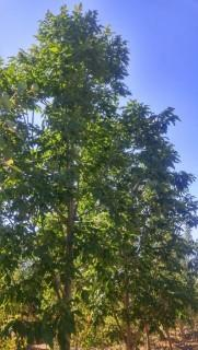 Qty of (5) Calypso White Ash trees
