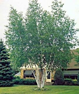 Qty of (5) Clump Paper Birch Trees