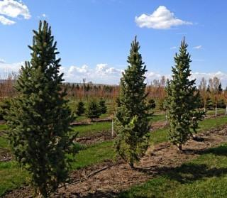 Qty of (5) Columnar Blue Spruce Trees
