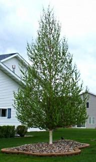 Qty of (5) Dakota Pinnacle Birch Trees