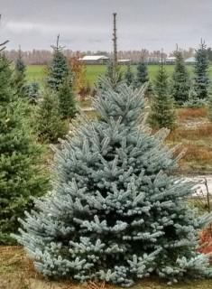 Qty of (5) Fat Albert Spruce Trees