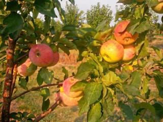 Qty of (5) Hardi-MacEating Apple Trees
